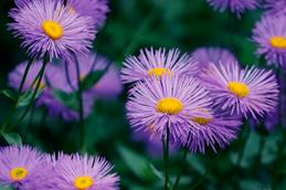 Få tips til asters i haven - Plantorama