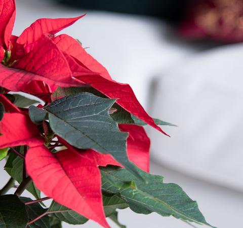 Få gode råd til pasning af julestjerner hos Plantorama