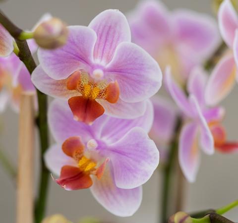 Få gode råd til pasning af orkidéer hos Plantorama