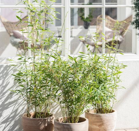 Udplantning og pasning af bambus - Plantorama