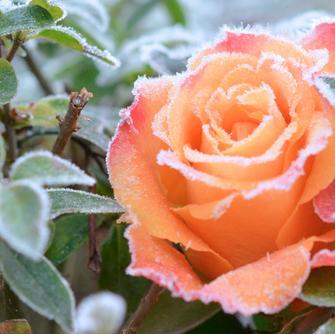 Plantorama | Få råd til roser i  december